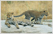 leopards k