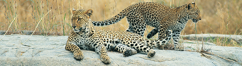 header 2leopards