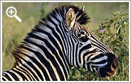 zebra country lodge